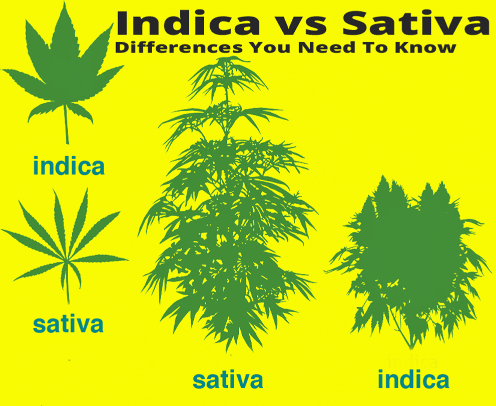Indica vs Sativa Differences You Need To Know